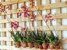 Oncidium equitants